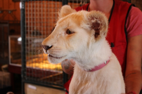 Perle, le lionceau de 5 mois